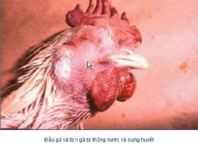 p25741 Cúm H5N1 (Cúm Gà ) là gì?
