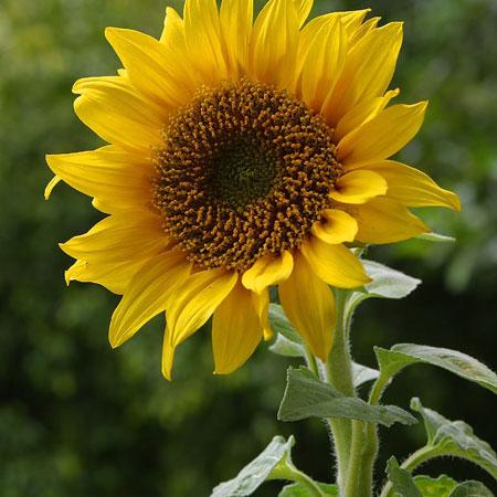 Điều trị bệnh huyết áp, đau đầu với hoa hướng dương