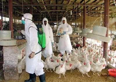 Những thắc mắc thường gặp về bệnh cúm gà H5N1 1
