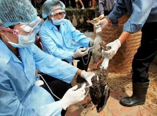 Cảnh giác với dịch cúm gia cầm quay trở lại