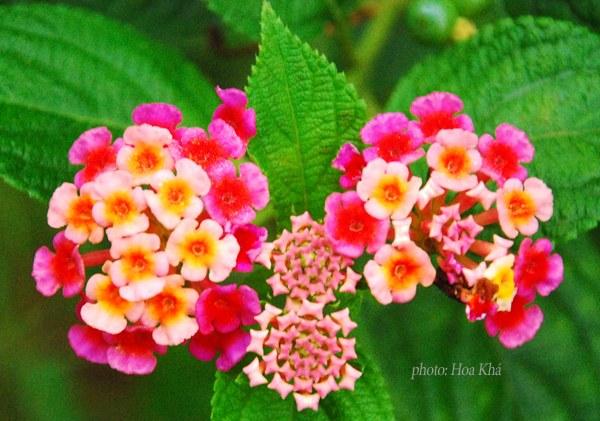 Mẹo chữa viêm xoang bằng hoa ngũ sắc 1