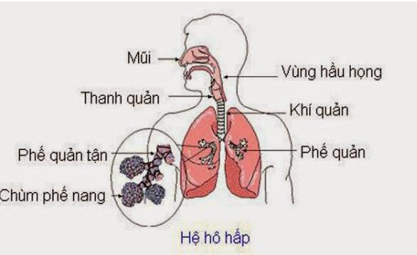 Trước hết, cần tìm hiểu về cấu tạo hệ hô hấp 1